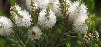 ÁRBOL DEL TÉ (Melaleuca alternifolia)