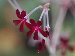 UMCKALOABO (Pelargonium sidoides)