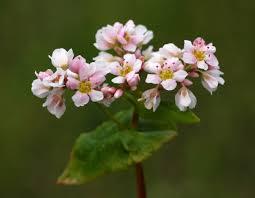 ALFORFÓN (Fagopyrum esculentum)
