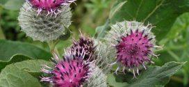 Bardana planta medicinal depurativa